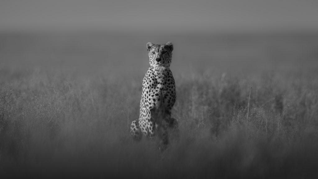 Cheetah    (12/15)